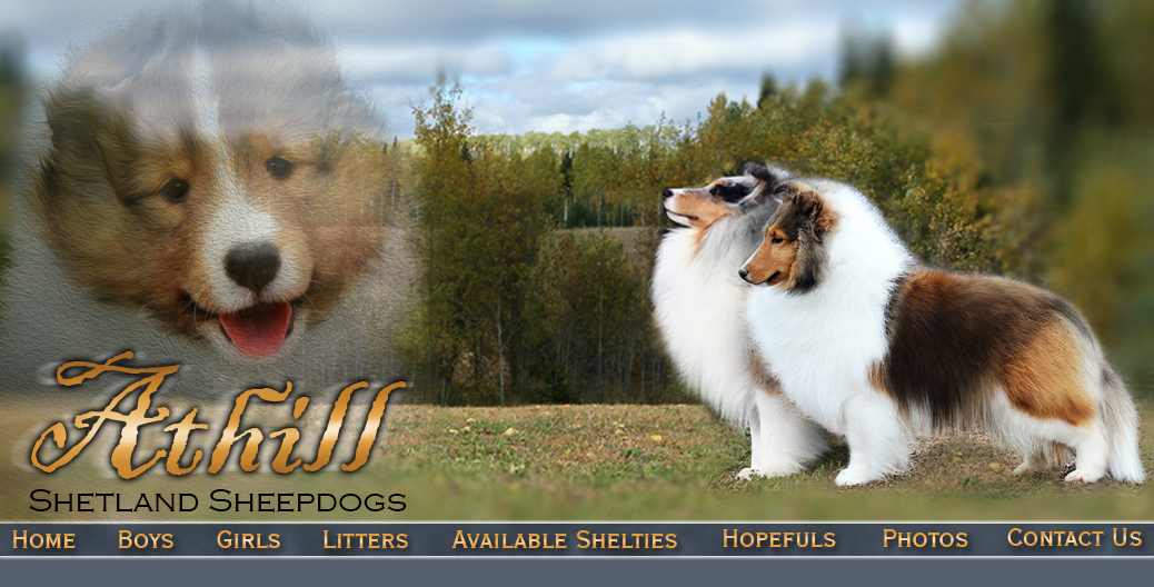 Welcome To Athill Shelties Thunder Bay Ontario